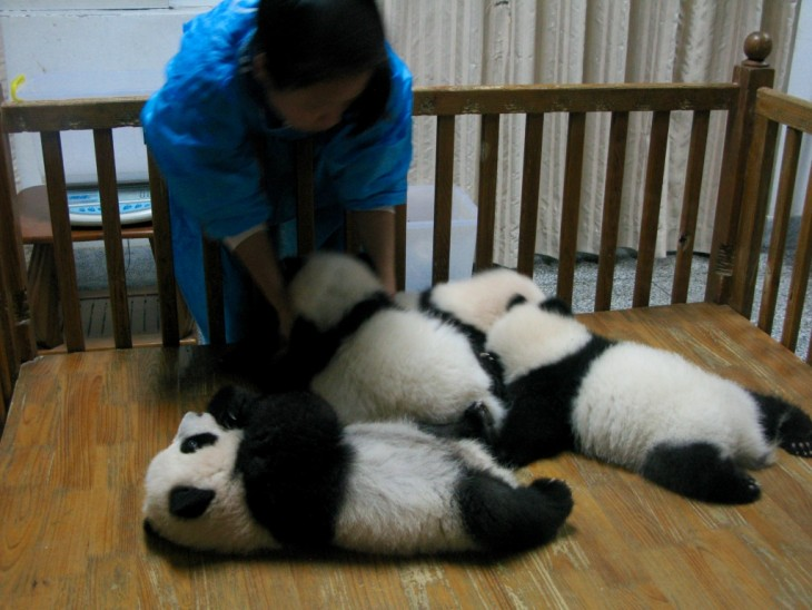 Chengdu four little baby pandas and a nurse