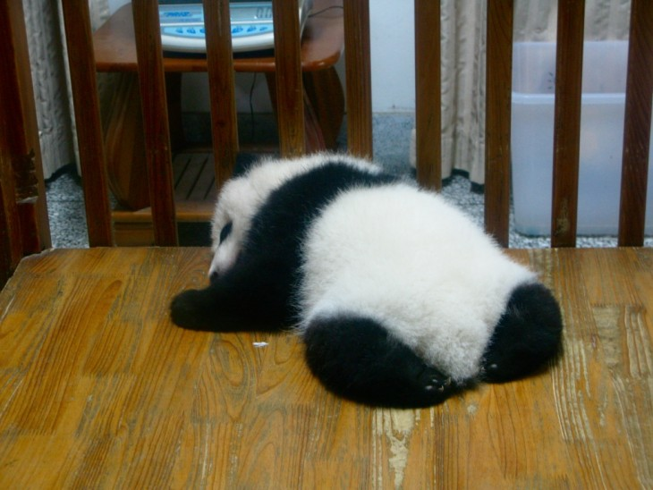Baby panda sleeping in Panda research center in Chengdu, China