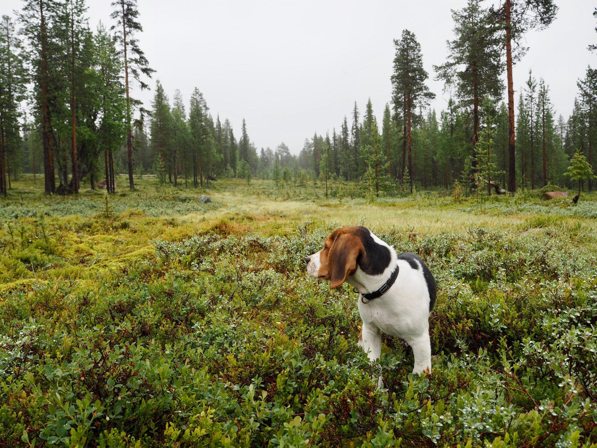 Koira Finnairin matkustamoon