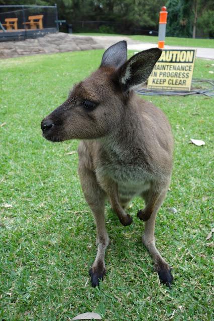 Australian reptile park eläintarha kenguru