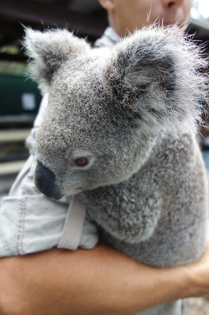 Australian reptile park koala eläintarha