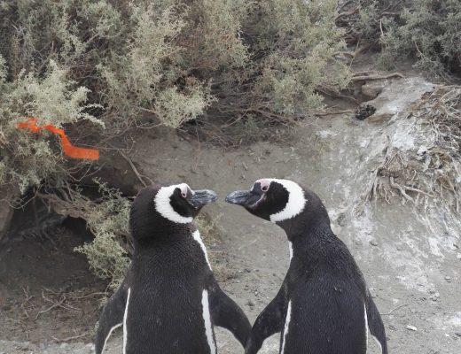 rakastuneet magellanianpingviinit