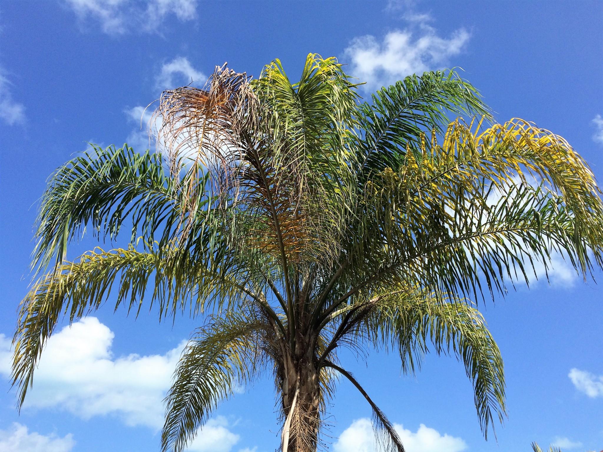 Varaderon puu
