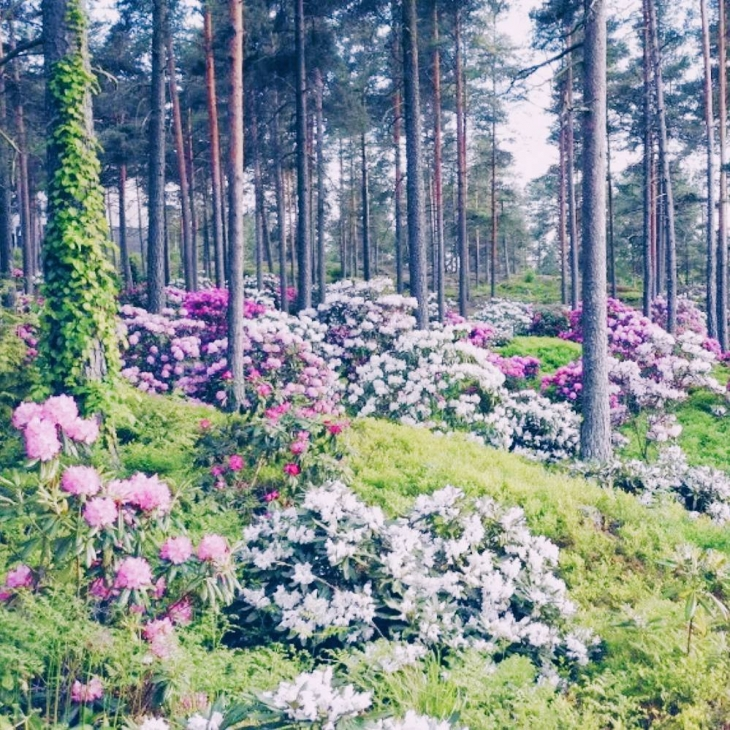 Rhododendron park in Raisio is blooming at the moment sohellip