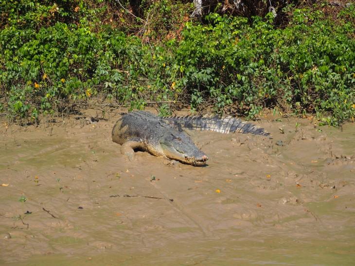 krokotiilidarwin