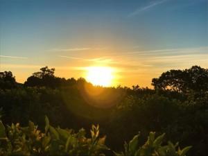 Sunset over orange trees