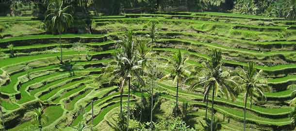 Balin vihreät riisipellot Ubudissa