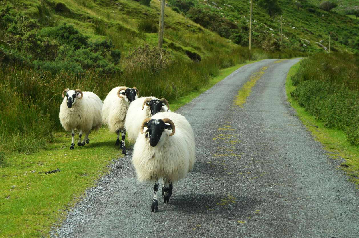 Lampaat irlantilaisella tiellä