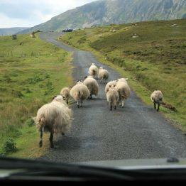Lampaat tiellä Irlannissa