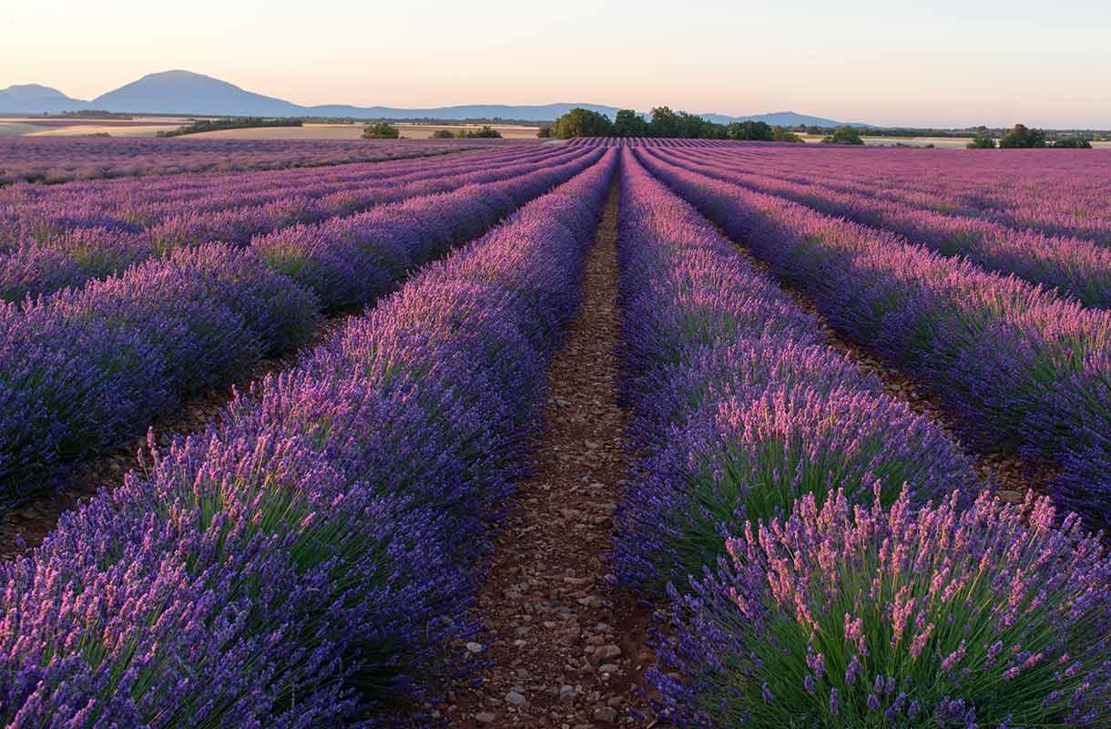 Laventelipelto Provencessa