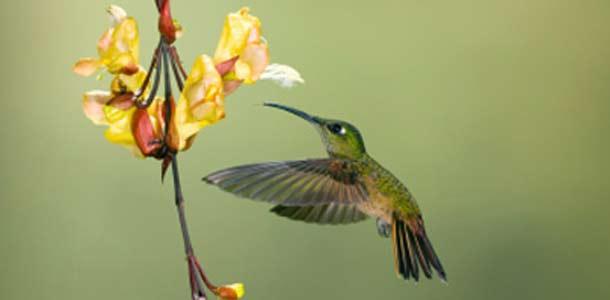 Ecuadorilainen kolibri