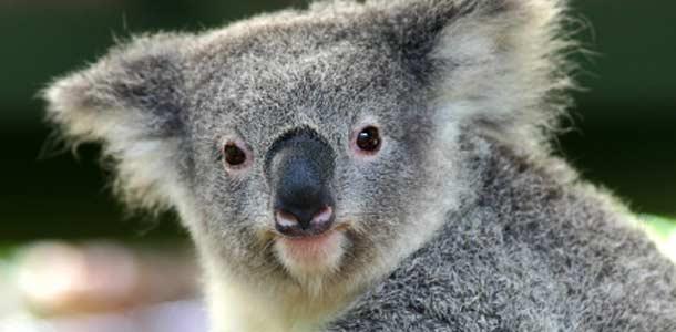 Australian eksoottiset eläimet