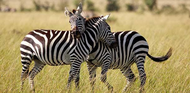 Masai Maran luonnonpuistossa on monia villieläimiä