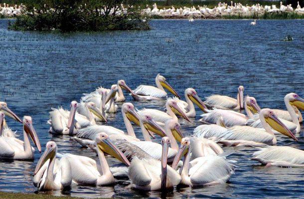 Etiopia-pelikaani-Flickr-David-Stanley