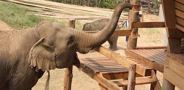 Hoida elefantteja Chiang Maissa