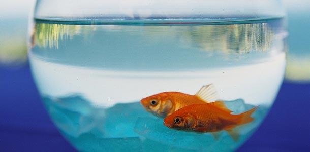Akvaariokala maljassaan