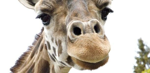 Kolmårdenissa pääset tervehtimään kirahveja