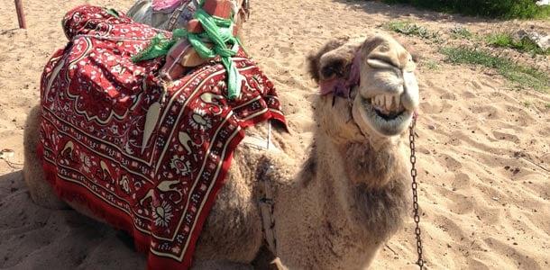 Sidessä voit kohdata kamelin