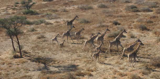 Kirahvit savannilla