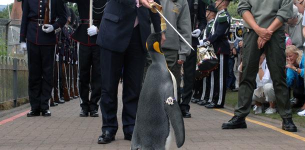 Pingviinistä tehtiin norjalainen ritari