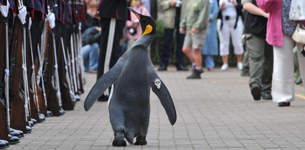 Tällainen on ritarin arvonimen saanut pingviini