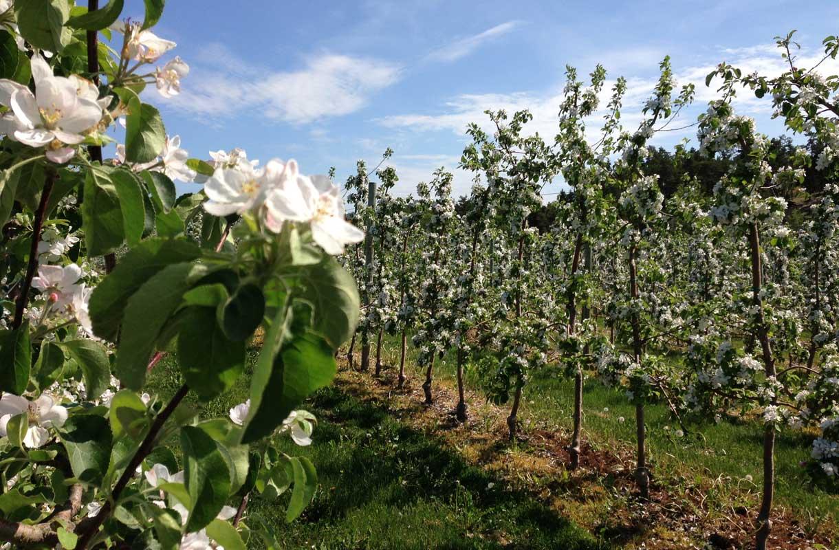 Ahvenanmaalla tuotetaan paljon omenaa