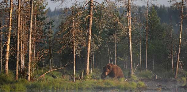 Kuhmon metsissä voi törmätä karhuun