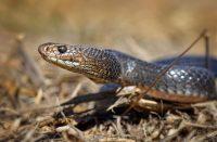 Australian tappajakäärme