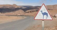 Kamelivaara Marokon teillä