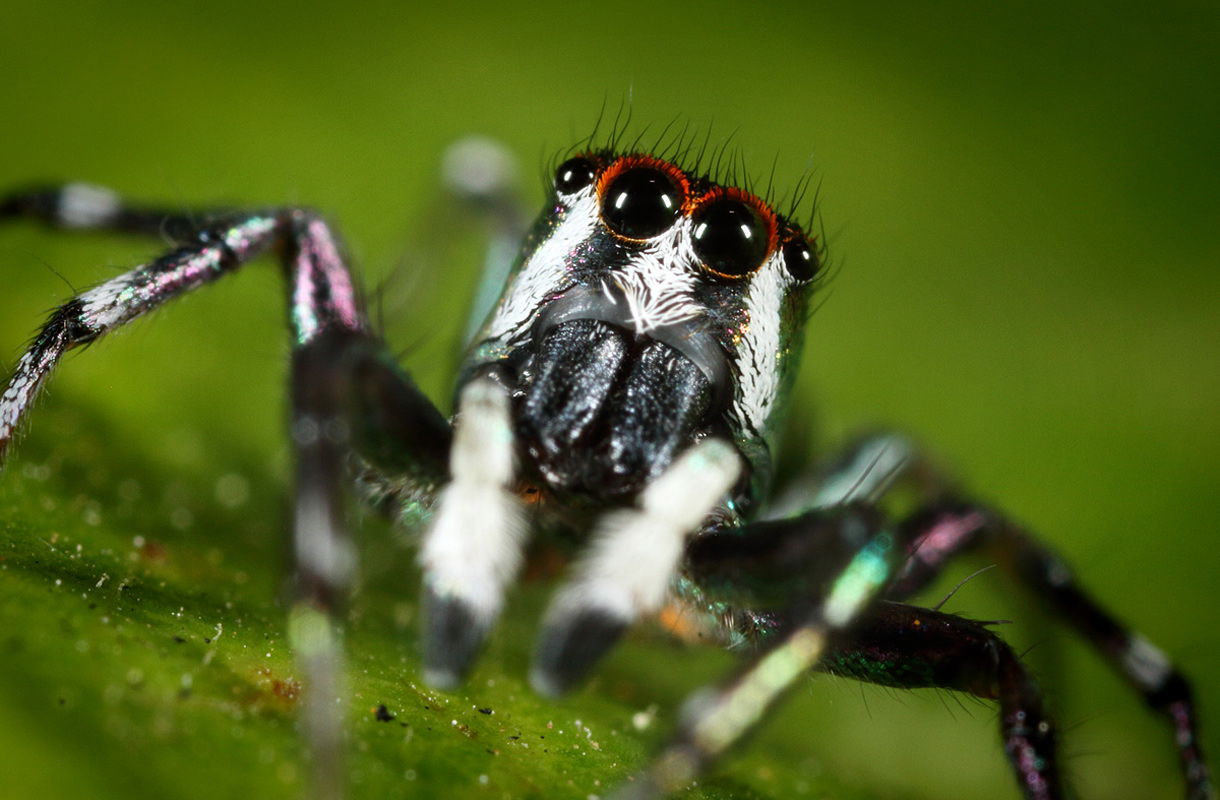 Australian vaarallisin hämähäkki