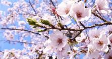 Kirsikkapuut kukkivat Japanissa