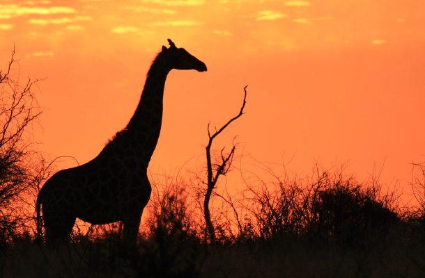 Botswana-Kirahvi-Flickr-Angela-Huxham