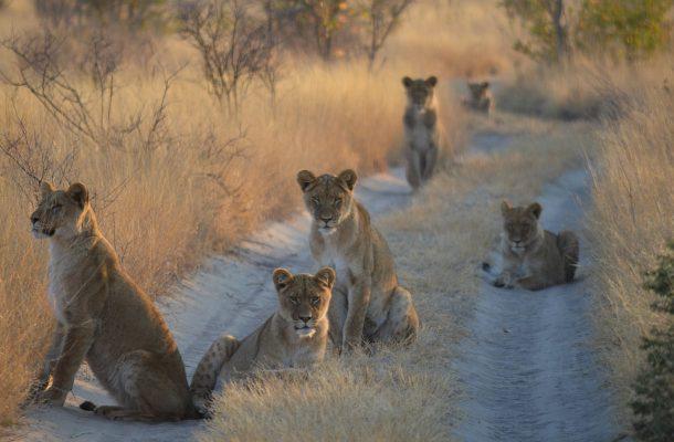 Botswana-leijonat-Flickr-Benjamin-Hollis