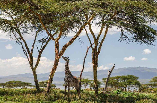 Nairobi-kirahvi-Flickr-ninara