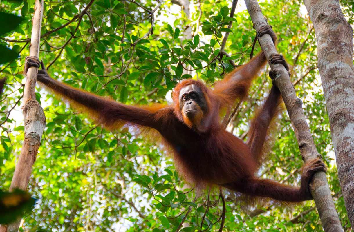 Borneon sademetsät
