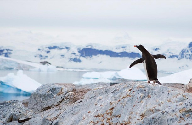 Etelämantereen pingviini