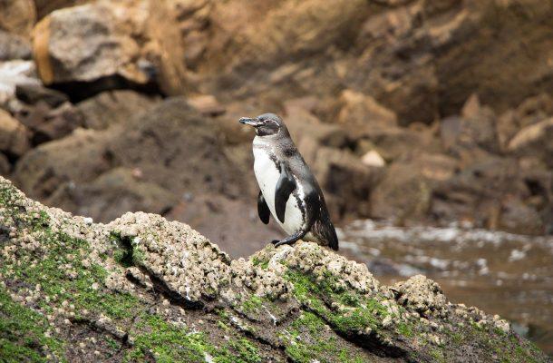 Galapagossaarten pingviini