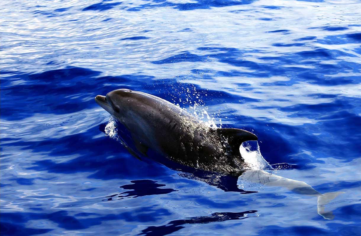 Veneretkellä voi bongata delfiinejä Teneriffalla
