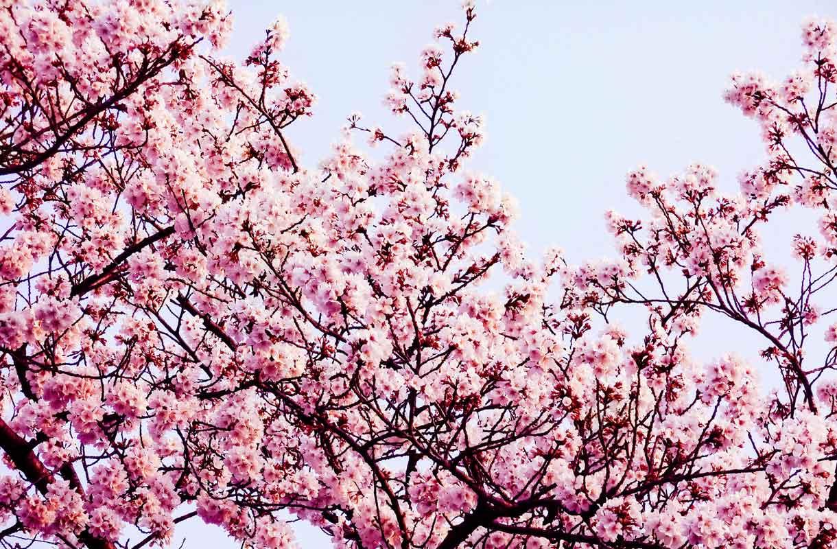 Kirsikankukat kukkivat Japanissa keväällä