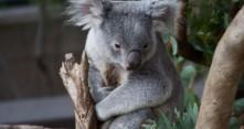 Koala hyppäsi auton rattiin Australiassa