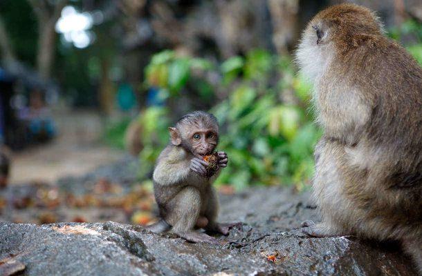 Thaimaassa voi törmätä apinoihin
