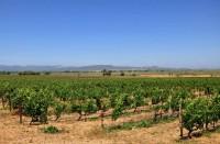 Viinitarha Sonoman alueella Kaliforniassa