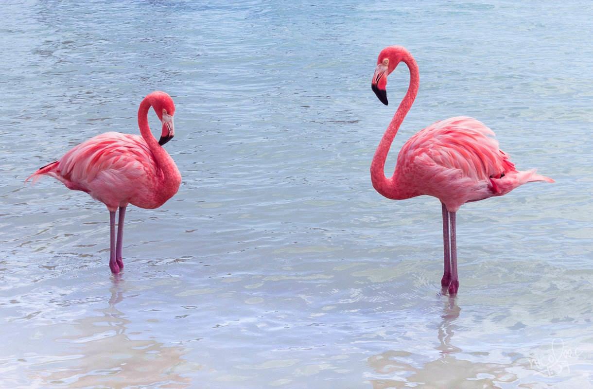 Aruban Renaissance Island tunnetaan flamingoista
