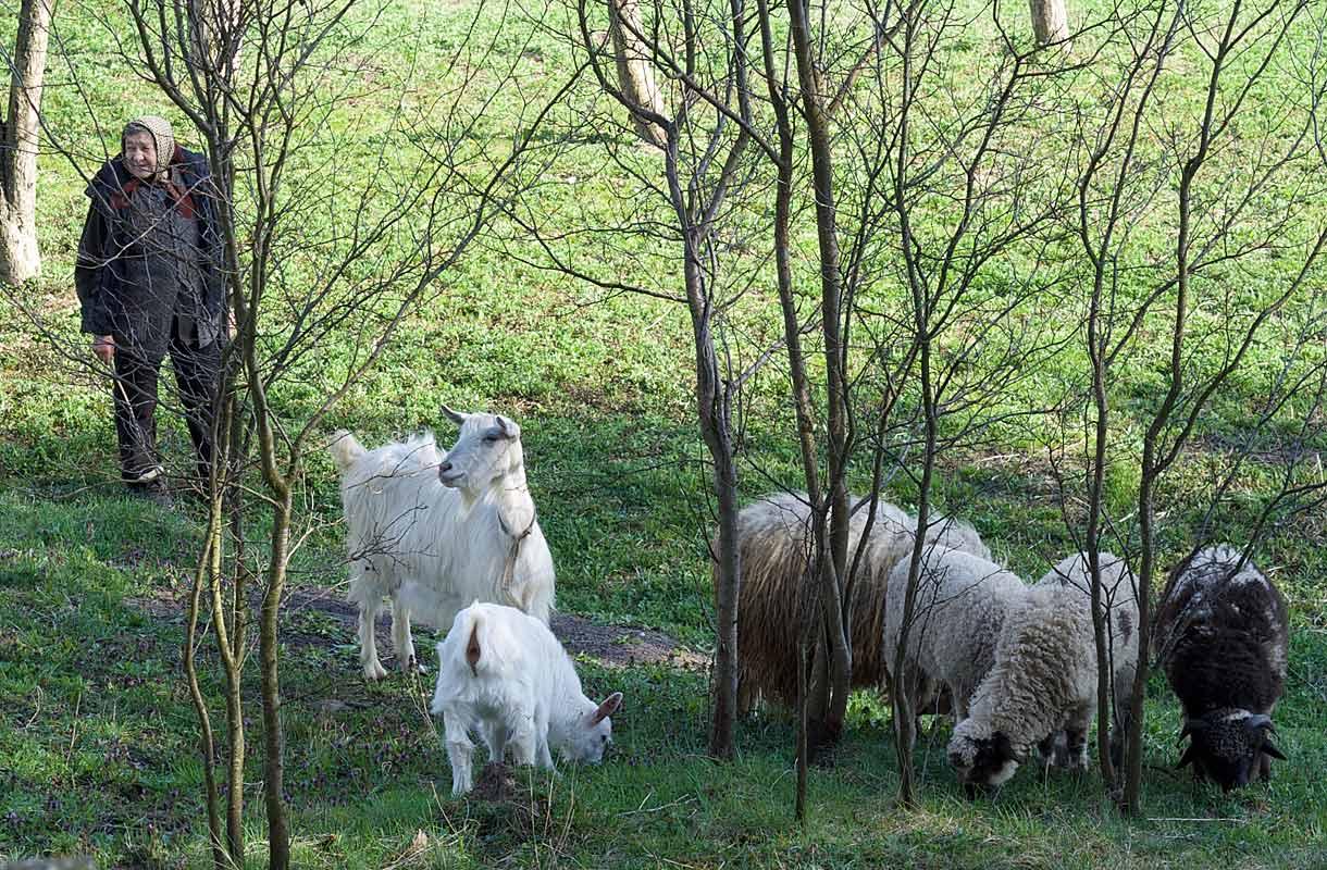 Vuohia Romanian maaseudulla