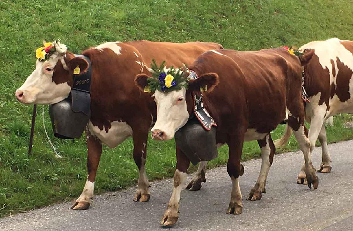 Lehmät Alpeilla