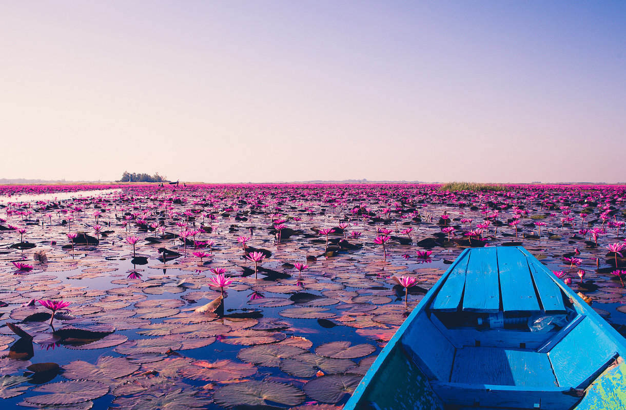 Thaimaan Red Lotus Lake kukkii talvikuukausina