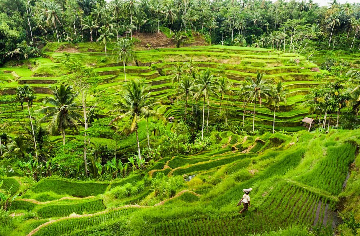 Ubudin riisipellot Balilla