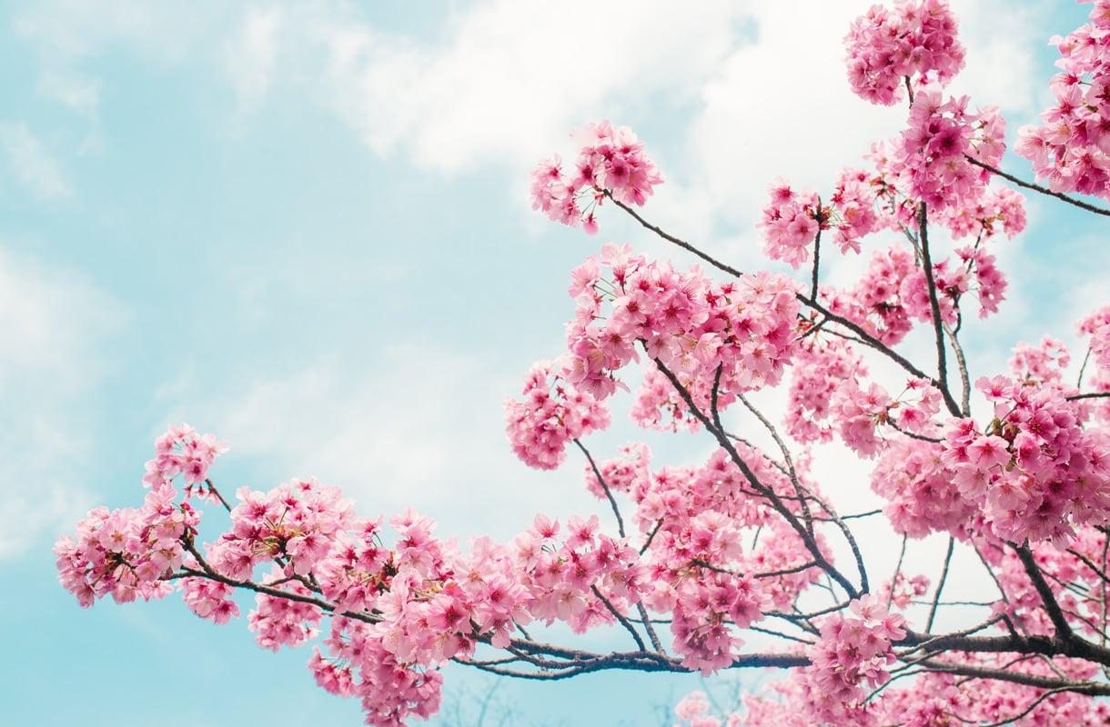 Kirsikankukat Suomessa